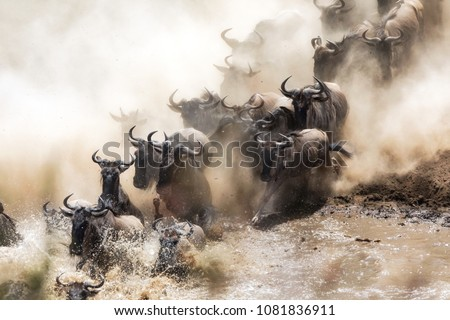 Wildebeest crossing the Mara River during the annual great migration. Every year millions will make the dangerous crossing when migrating between Tansania and the Masai Mara in Kenya. #1081836911