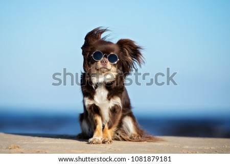 funny chihuahua dog posing on a beach in sunglasses #1081879181