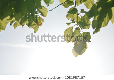 Green beech leaves with bright sunbeams shining through during spring season #1081987157