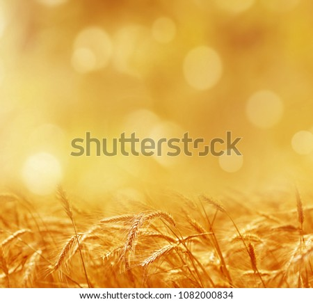 Close up of ripe wheat ears. Beautiful backdrop of ripening ears of golden field. Nature background and  blurred bokeh. Agriculture scene of sun setting over the yellow meadow #1082000834