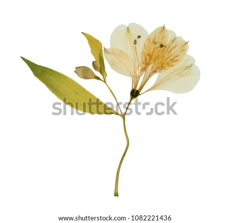 Pressed and dried flower alstroemeria, isolated on white background. For use in scrapbooking, floristry or herbarium. #1082221436