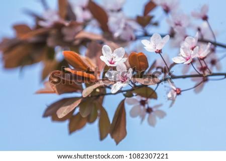 Close up of Pink Blossom Plum Tree Branch, Prunus cerasifera Nigra, during Spring Season on Blue Pink Background #1082307221