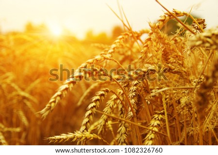 Wheat field on sun. Harvest and food concept #1082326760