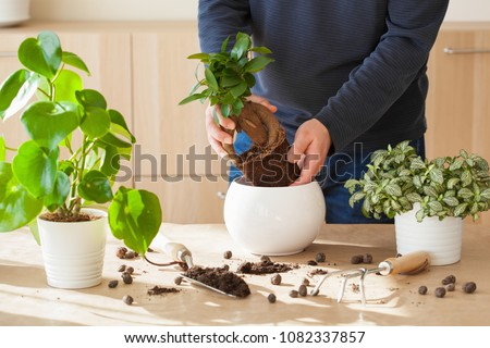 gardening, planting at home. man relocating ficus houseplant #1082337857