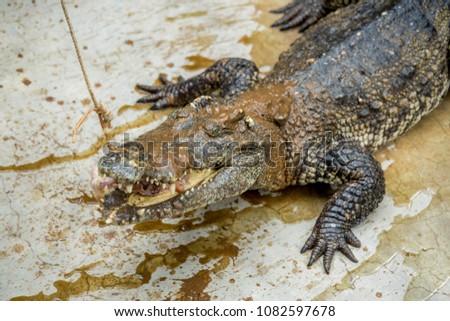 Crocodile , thailand #1082597678
