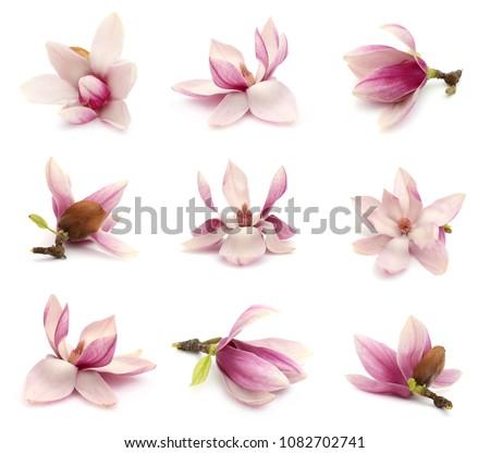 flower of spring magnolia blooming