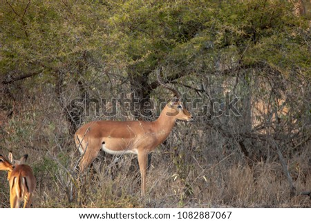 Impala grazing in Mpumalanga Province, South Africa #1082887067