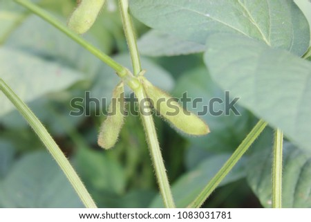 Soybean pods on branch, crop planting  at Agricultural soy plantation background. #1083031781