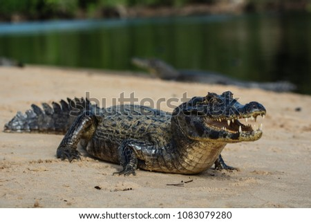 A large caiman, Caiman latirostris, walks down the beach to enter the Cuiaba River.	 #1083079280