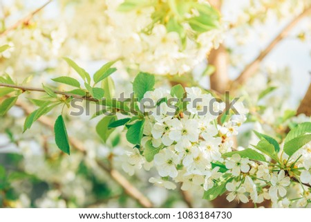 Spring branches of blossoming tree. Cherry tree in white flowers. Blurring background.  #1083184730