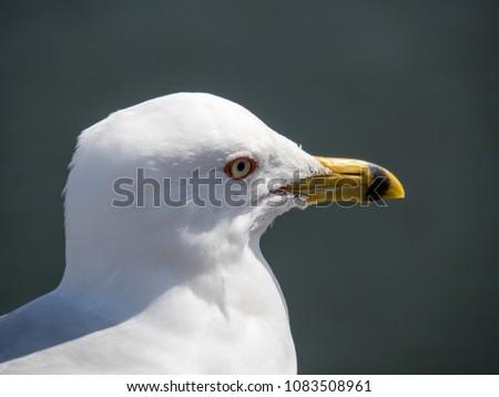 Close up portrait of a gull #1083508961