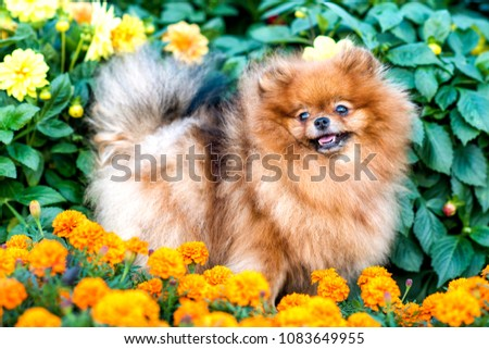 Cute small Pomeranian doggy in flowers in summer, smiling. #1083649955