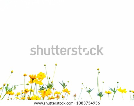Yellow cosmos flowers are bloom and leaf. #1083734936