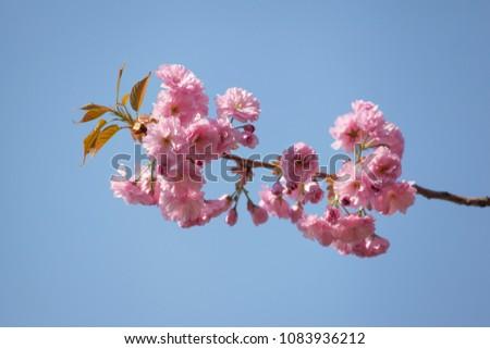 flowers of Japanese cherry (sakura) close-up #1083936212