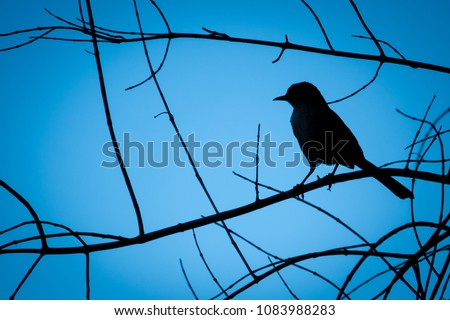 Silhouette of a bird (Mockingbird) perched high on the branches of a tree in Monterey of the central coast of California with blue sky background.