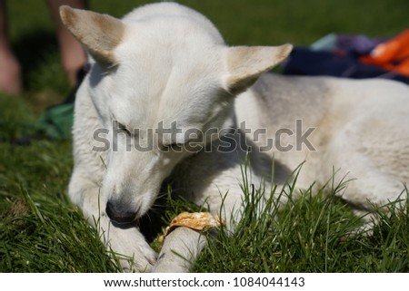 White husky half-breed dog relaxing at the park on a sunny day #1084044143