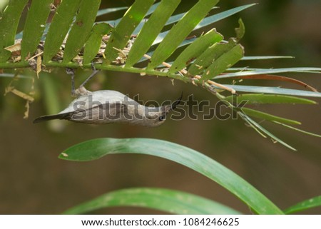 A small sunbird hanging updside-down under a cycad leaf #1084246625