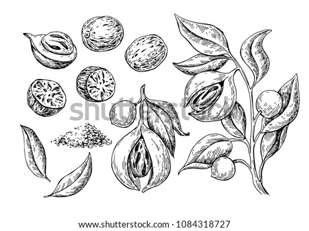 Nutmeg spice vector drawing. Ground seasoning nut sketch. Dried seeds and fresh mace fruits Herbal ingredient, cooking flavor. Condiment engraved illustration. Great for template label, packing design Royalty-Free Stock Photo #1084318727