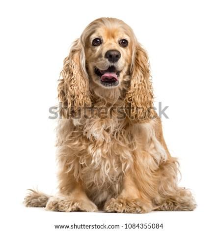 Cute Cocker Spaniel, Dog, sitting, Isolated #1084355084