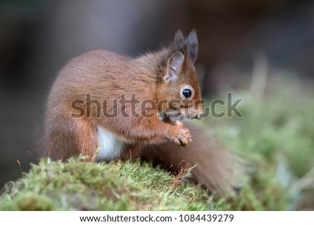 Red Squirrel on a moss covered log in woodland #1084439279