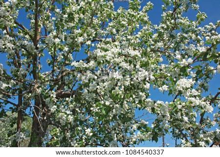 blooming Apple tree against blue sky #1084540337