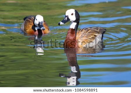 Pair of White Faced Whistling Ducks swimming across reflective pond, London Wetland Centre, UK #1084598891