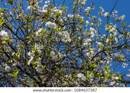 Spring flowering branches, white flowers, cherry blossom isolated on blue sky, landscape background #1084637387