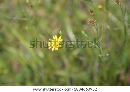yellow wildflower with green grass background #1084663952