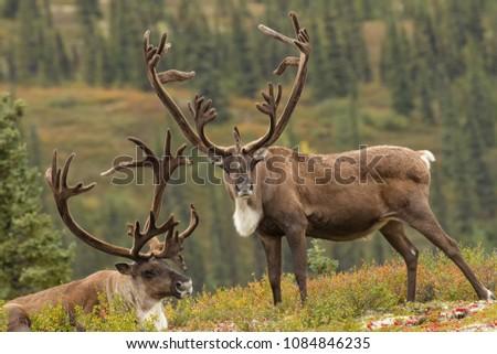 Caribou taken in Denali National Park Agnieszka Bacal. Royalty-Free Stock Photo #1084846235