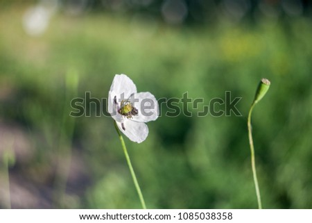White poppies in field. Natural wildflowers. Spring flowered #1085038358