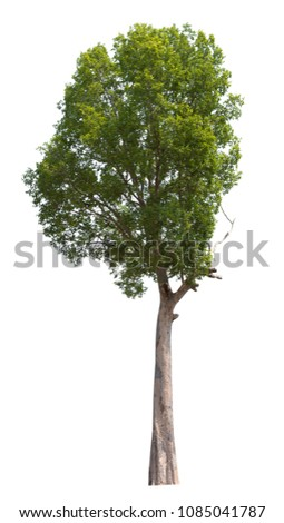 Trees isolated on white background, tropical trees used for design, advertising and architecture #1085041787
