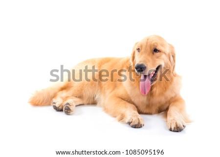 Golden retriever dog isolated over white background #1085095196