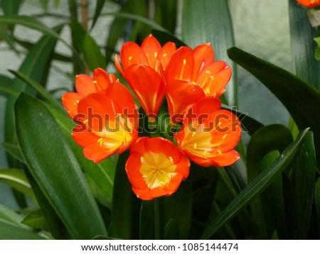 Clivia miniata 'Shademaster Orange'. Amaryllidaceae family #1085144474