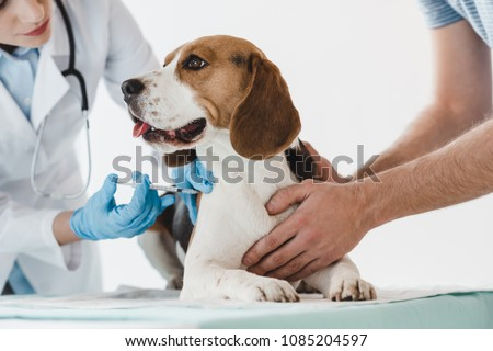 cropped image of man holding beagle while veterinarian doing injection by syringe to it #1085204597