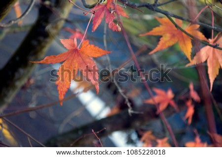 Maple leaves during autumn #1085228018