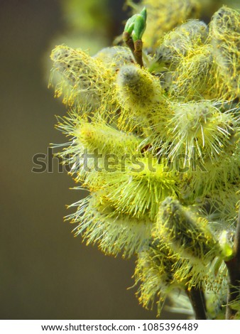 Catkins of willow #1085396489