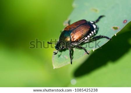 Japanese beetle (Popillia japonica)  #1085425238