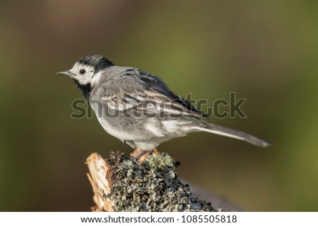 Pied wagtail, perched on a lichen covered branch in the Springtime #1085505818