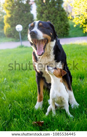 small dog and big dog best friends, large Swiss Mountain dog  and jack russell terrier on a background of greenery in the garden in summer, two pets, couple of friends. #1085536445