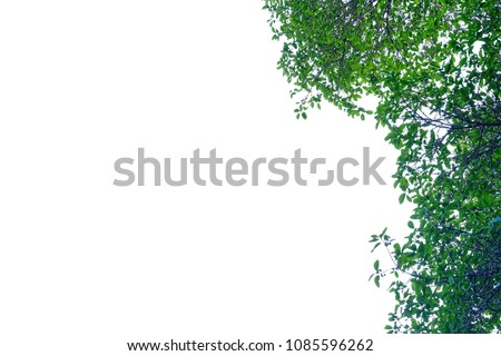 Tropical tree leaves growing in botanical garden on white isolated background for green foliage pattern  #1085596262