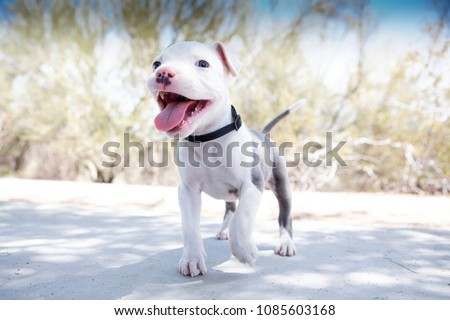 Pitbull Puppy dog smiling