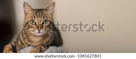 Relaxed domestic cat at home, indoor #1085627801