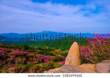 Beautiful Royal Azalea Flower at Hwangmaesan mountain in Hapcheon city of South Korea. Hwangmaesan mountain with beautiful Royal Azalea Flower during Spring season. Beautiful nature of Hwangmaesan Mt. #1085699660