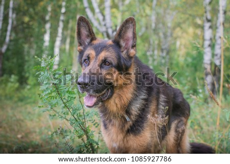 German shepherd dog in sunny autumn day #1085927786