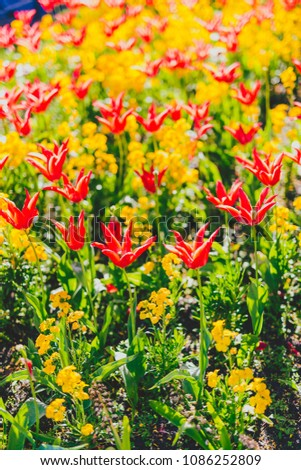 red tulips and yellow flower installation in city park shot at shallow depth of field on a summer day #1086252809