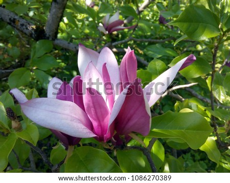 Close up of a blooming magnolia tree branch (Magnolia Liliiflora). #1086270389