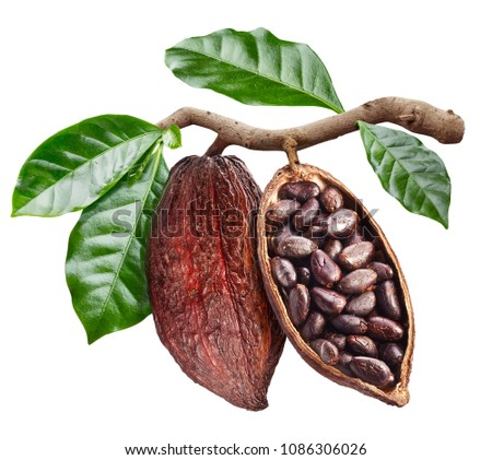 Open cocoa pod with cocoa seeds which is hanging from the branch. Conceptual photo. Clipping path. #1086306026