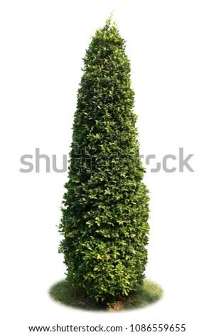Banyan tree bush isolated on white background #1086559655