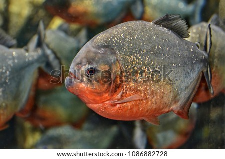 Red-bellied piranha.  Red piranha native to South America, found in the Amazon, Paraguay, Parana and Essequibo basins.