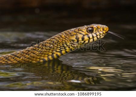 Rat snake in water Royalty-Free Stock Photo #1086899195